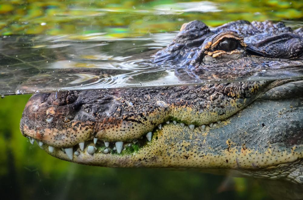 Crocodile of Bristol's waterways? An urban legend says so!